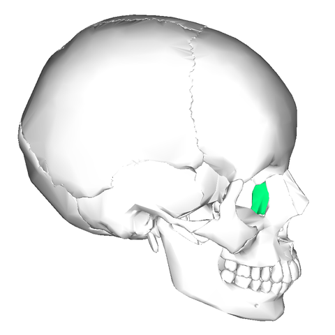 File:Lacrimal bone - lateral view3.png - Wikimedia Commons