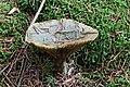 Lactaire des épicéas vert 04.jpg