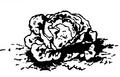 Laitue gotte Vilmorin-Andrieux 1883.png