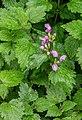 Lamium maculatum in Aveyron.jpg
