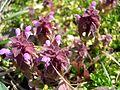 Lamium purpureum.JPG