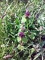 Lamium purpureum 05.jpg