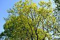 Landschaftsschutzgebiet Gütersloh - Isselhorst - Baum beim Wasserwerk (3).jpg