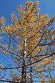 Larix gmelinii Aershan 1.jpg