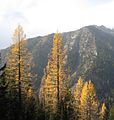 Larix occidentalis Navaho Ridge.jpg