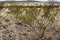 Larrea tridentata - Flickr - aspidoscelis (4).jpg