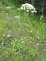 Laserpitium latifolium002.jpg