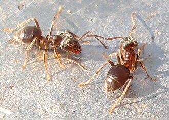 Lasius - Cornfield ant, Lasius alienus