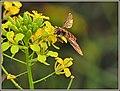 Last Hoverfly (43574602820).jpg