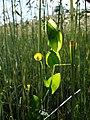 Lathyrus aphaca sl54.jpg