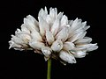 Laxmannia squarrosa - Flickr - Kevin Thiele.jpg