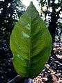 Leaf of Citrus.jpg