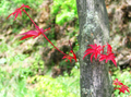 Leaves and stem of Acer Palmatum.png