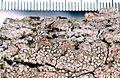 Lecanora albella.jpg