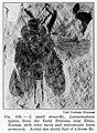 Lemmatophora typica Elmo, Kansas Wellcome M0006043.jpg