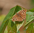 Lemon Pansy (Junonia lemonias) at Jayanti, Duars, West Bengal W Picture 295.jpg