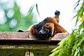 Lemur (36446025832).jpg