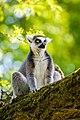 Lemur (39822792620).jpg
