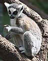 Lemur catta 2.jpg