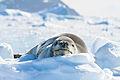 Leopard Seal (15472434384).jpg