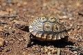 Leopard tortoise (Stigmochelys pardalis) juvenile.jpg