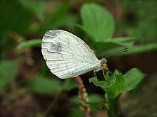 Leptosia nina at Kadavoor.jpg