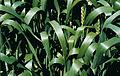Les Plantes Cultivades. Cereals. Imatge 150.jpg