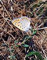 Lesser Fiery Copper, Lycaena thersamon, male.jpg