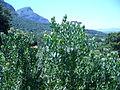 Leucospermum praecox bush.JPG