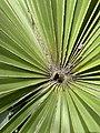 Leucothrinax morrisii at Port St. Lucie Botanical Garden 03.jpg