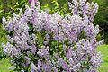 Lilac - West Virginia - ForestWander.jpg