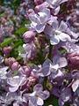 Lilak pospolity Syringa vulgaris RB4.JPG