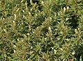 Limnophila sessiliflora (Asian Ambulia) in Hyderabad, AP W IMG 1415.jpg