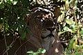 Lion, Ruaha National Park (11) (29027137005).jpg