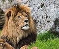 Lion Image 2.jpg