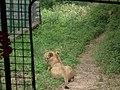 Lion from Bannerghatta National Park 8475.JPG