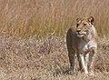 Lioness (6141781128).jpg