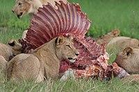 The hunters of a pride sharing a zebra where the kill occurred