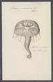 Liriope proboscidalis - - Print - Iconographia Zoologica - Special Collections University of Amsterdam - UBAINV0274 111 01 0004.tif