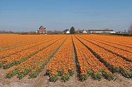 Lisse, veld met geelrode dubbele tulpen bij de Zwartelaan IMG 8941 2021-04-27 11.11.jpg