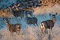 Little Shasta muledeer, Siskiyou County, CA (23811199429).jpg