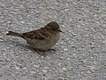Little birds near the carousel - Place Carnot, Beaune - House sparrow (35305859752).jpg