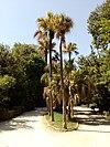 Livistona Chinensis- Λιβιστόνα η σινική - λατάνια.jpg