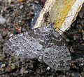 Lobophora halterata2.jpg