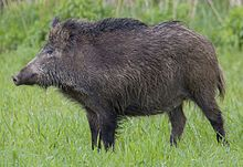 Colour photograph of a Central European boar