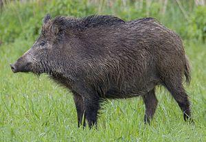 Guilden Morden boar - A Central European boar