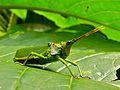Locust (Taphronota sp.) (6807900831).jpg