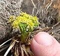 Lomatium parryi 3.jpg