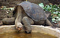 Lonesome George 2010.jpg