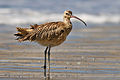 Long-billed curlew at Drakes Beach, Point Reyes ks01.jpg
